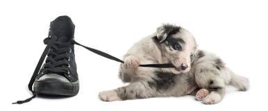Crossbreed szczeniaka bawić się z butem odizolowywającym na bielu Zdjęcia Stock