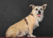Crossbreed terrier in studio. On dark background Royalty Free Stock Photography