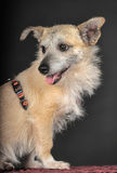 Crossbreed terrier in studio. On dark background Royalty Free Stock Photos