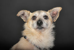 Crossbreed terrier in studio. On dark background Stock Photo