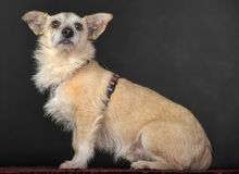 Crossbreed terrier in studio Royalty Free Stock Images