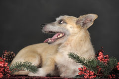 Crossbreed terrier in studio Stock Image