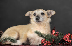 Crossbreed terrier in studio. On dark background and a branch with berries Christmas Stock Image