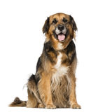 Crossbreed (7 years old) Stock Image