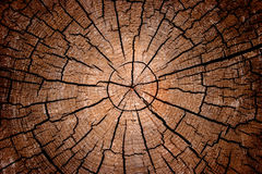 Free Crosscut Log Radial Pattern Royalty Free Stock Photography - 3635317