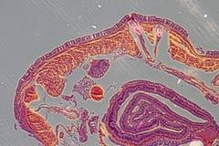 Crosscutting de aardworm van de micrograaf royalty-vrije stock afbeelding