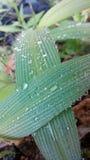 Crossed Dew. Dewed leaf in the garden Stock Photos