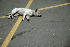 A crossed dog. A dog lying in the middle of the road Royalty Free Stock Photo