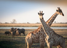 Crossed giraffes with elephants Royalty Free Stock Image