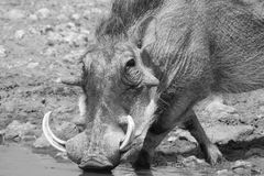 Crossed legs - African Warthog boar. Adult male Warthog drinking water on a game ranch in Namibia, Africa Royalty Free Stock Photos