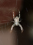 Crossed spider on web Stock Photography