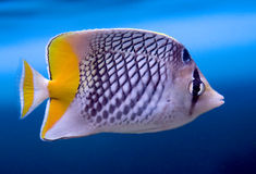 Crosshatch Butterfly Fish 1 Royalty Free Stock Photo