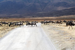 Crossing animals. A group of wildbeest is crossing the road inside the ngorongoro national park in tanzania Stock Images