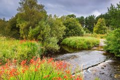 Wild Montbretia besides River Rede Ford Royalty Free Stock Photography