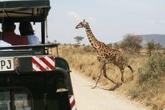 Crossing giraffe Stock Image