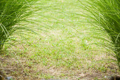 Crossing green grass stems Royalty Free Stock Photos