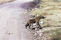 Crossing hyena Stock Photos