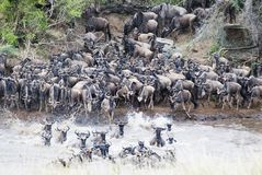 Crossing the Mara Royalty Free Stock Photos