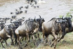 Crossing the Mara. Hundreds of wildebeest cross the Mara.  The river is dangerous because crocodiles will sttack several of them Stock Photos
