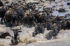 Crossing the mara river. Wildebeest crossing the Mara river Stock Images