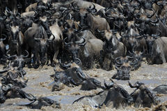 Crossing the Mara river. Wildebeest crossing the Mara river Royalty Free Stock Image