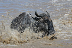 Crossing the Mara river Stock Photo