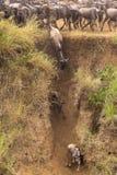 The crossing on Mara river has began. Kenya. Africa Royalty Free Stock Photo