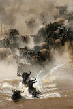 Crossing n.1. More than a million wildebeests migrates every year between Masai Mara NP and Serengeti NP. In their journey they cross several times Mara River Royalty Free Stock Photo