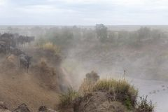 Crossing a river of ungulates in the early foggy morning. Kenya, Africa stock image