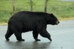 Crossing the road. Bear is crossing the road. Light rain, spring green grass stock photo