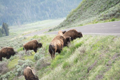 Crossing the Road. These were bison at Yellowstone National Park that were getting ready to cross a road. The photo was taken at an angle since the hill went one Stock Images