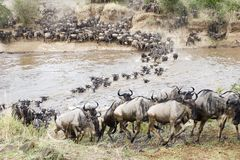 Free Crossing The Mara Royalty Free Stock Images - 1456719