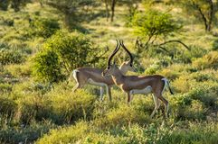 Crossing of two antelopes stock images