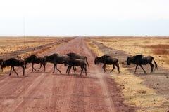 Crossing wildbeests Stock Photos