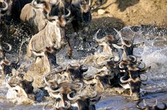 Crossing of wildebeests in Mara river Stock Photography