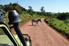 Crossing zebra from a safari jeep Royalty Free Stock Images