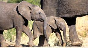 crossingelefant royaltyfri fotografi