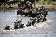 crossingkenya wildebeest Arkivfoton
