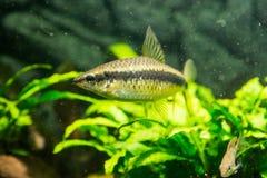Crossocheilus siamensis, Siamese Algae Eater (Сиамский. Photo of exotic fish in home aquarium Royalty Free Stock Images