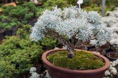 Crossostephium bonsaiträd arkivbild