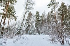 Crossroad. Road in winter forest. Snow landscape. Fir trees around.  stock photography