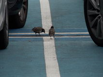 Crossroads. Two birds in a car park Stock Photography