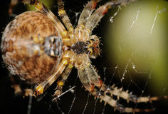 Crossspider Royalty Free Stock Image