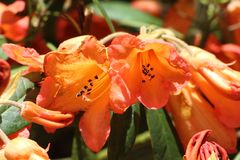 Crossvine blommar i en trädgård arkivbilder