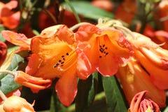Crossvine flowers in a garden stock images