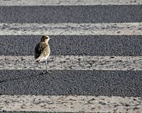 Crosswalk Safety. The  Pacific Golden Plover Pluvialis fulva, a frequent visitor to Hawai`i,  knows it is always best to look both ways before crossing any Stock Photos