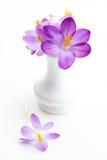 Crosus violeta en el florero para el resorte Imagenes de archivo