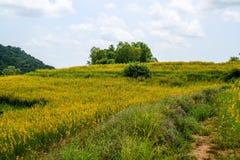 crotalaire dans la vallée, équilibre pour augmenter la fertilité du sol Quand gro photos libres de droits