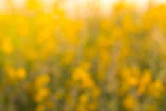 Crotalaria Fotos de archivo