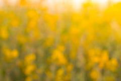 Crotalaria Imagen de archivo libre de regalías